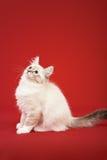 Siberian forest kitten on red background Stock Photo