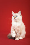 Siberian forest kitten on red background Stock Image