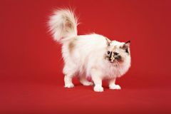 Siberian forest kitten on red background Royalty Free Stock Photo
