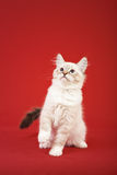 Siberian forest kitten on red background Royalty Free Stock Images