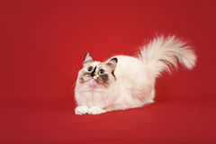 Siberian forest kitten on red background Stock Images