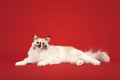 Siberian forest kitten on red background Royalty Free Stock Photos