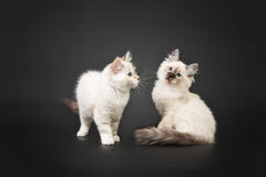 Siberian forest kittens on black background Royalty Free Stock Photo