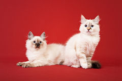 Siberian forest kittens on red background Stock Photography