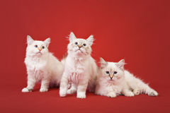 Siberian forest kittens on red background Royalty Free Stock Images