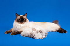 Siberian forest mother cat with kittens Royalty Free Stock Image