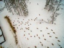 Siberian fullvuxen hankronhjort i bilagan _ Ryssland Arkivbild