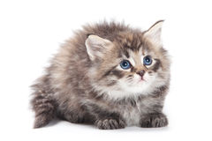 Siberian  furry kitten Royalty Free Stock Image