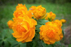 Siberian globeflower Royalty Free Stock Images