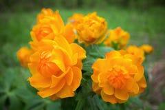 Siberian globeflower Royalty Free Stock Images