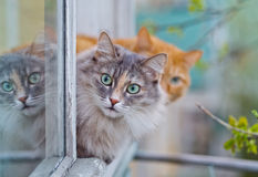 Siberian grey cat sitting on the window sill Royalty Free Stock Photos