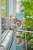 Siberian grey cat sitting on the window sill Royalty Free Stock Photo