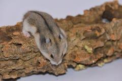 Siberian hamster över stammen Arkivfoto