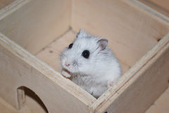 Siberian hamster Fotografering för Bildbyråer