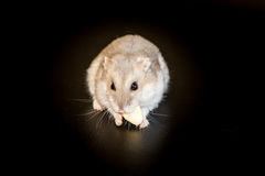 Siberian hamster eating, black background, macro Royalty Free Stock Images
