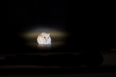 Siberian hamster eating, black background, macro Stock Photo