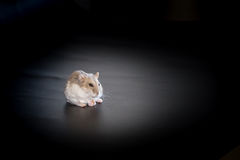 Siberian hamster eating, black background, macro Stock Photography