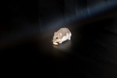 Siberian hamster eating, black background, macro Royalty Free Stock Photography