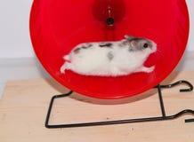 Siberian hamster i hjulet Arkivfoto