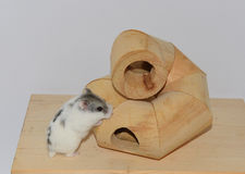 Siberian hamster Stock Image