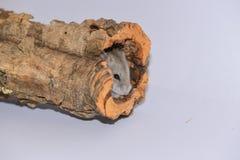 Siberian hamster som döljas i stammen Arkivfoton