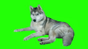 Siberian hasky för hund Grön detaljerad längd i fot räknat 4K för skärm högt Ren alfabetisk Skjutit på kameran 4K för svart magi arkivfilmer