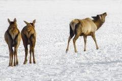 Siberian hjortar royaltyfria bilder