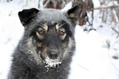 Siberian hunting dog Laika, Irkutsk region, Stock Images