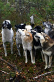 Siberian hunting dog Laika, Stock Photo