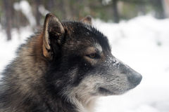 Siberian hunting dog Laika, Siberia Stock Photography