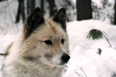 Siberian hunting dog Laika, Siberia Royalty Free Stock Image
