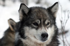 Siberian hunting dog Laika, Siberia, Russia Royalty Free Stock Image