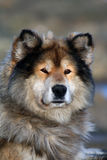 Siberian hunting dog Laika, Taimyr, Siberia Stock Image