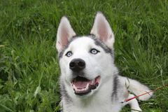 Siberian Husky Dog in Grass. A Siberian Husky dog laying in the green grass looking up Royalty Free Stock Photo