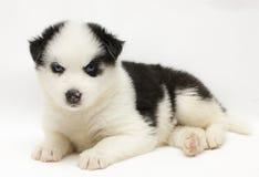 Siberian Huski Royalty Free Stock Images