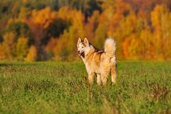 Siberian huski standing in autumn field with beautiful autumn fo Royalty Free Stock Photography