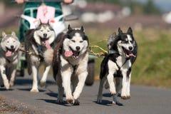 Siberian huskies Stock Image