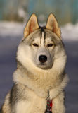 Siberian Huskies. Portrait of a dog of breed Siberian Huskies Royalty Free Stock Photography