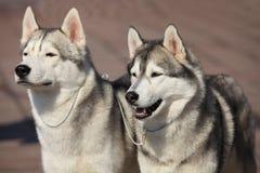 Siberian huskies Royalty Free Stock Photos