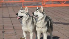 Siberian huskies arkivfilmer