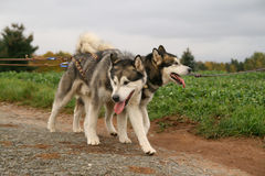Siberian huskies Royalty Free Stock Photos