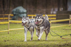 Siberian huskies Royalty Free Stock Image