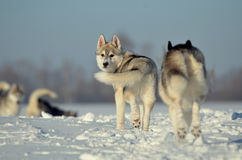 Siberian huskies dog puppy running away royalty free stock image