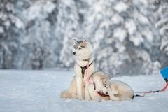Siberian huskies dog relaxing on a snow royalty free stock photo