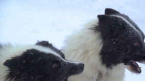Siberian huskies harnessed to prepare for the run stock footage