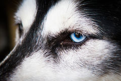 Siberian huskies in the open-air cage Royalty Free Stock Image