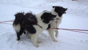 Siberian huskies som exploateras för att förbereda sig för körningen arkivfilmer