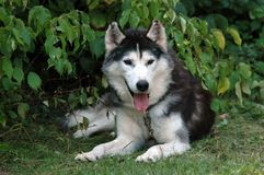 Siberian husky. Resting in the grass Stock Image