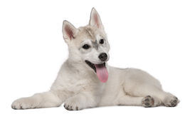Siberian Husky, 12 weeks old, lying. In front of white background Stock Image