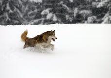 Siberian Husky. Royalty Free Stock Photo